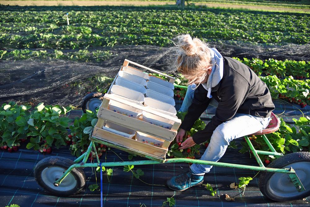 Lena Nüberlin beim Pflücken auf ihrem Erntewagen