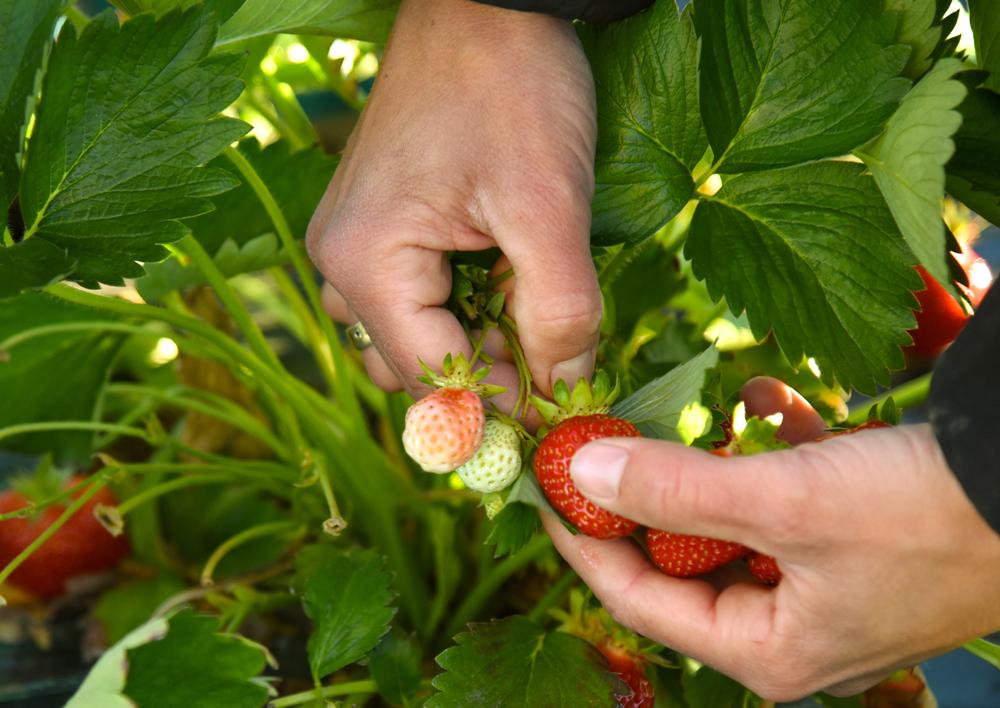 Das Abknipsen der reifen Erdbeeren benötigt etwas Übung
